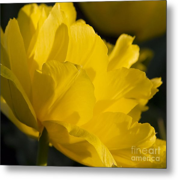Lone Tulip  Tulipe Seule Metal Print by Nicole  Cloutier Photographie Evolution Photography