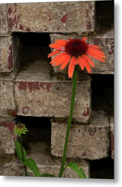 Lonely Zinnia On Wall Metal Print