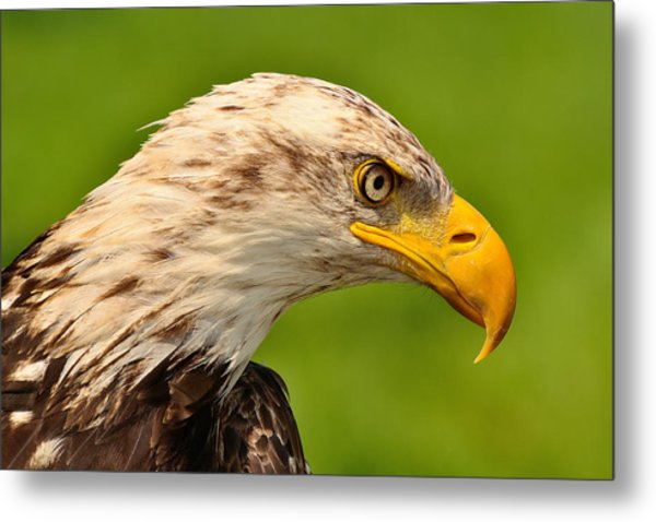 Lord Of The Wings Metal Print