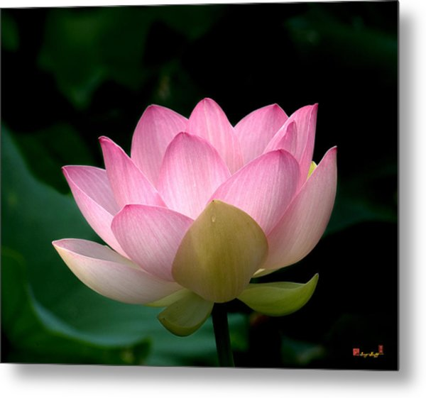 Lotus Beauty--blushing Dl003 Metal Print