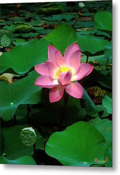 Lotus Flower And Capsule 24a Metal Print