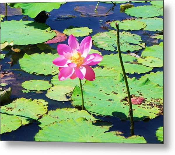 Lotus Flower Metal Print by Jarrod Faranda
