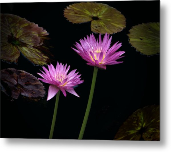 Lotus Water Lilies Metal Print