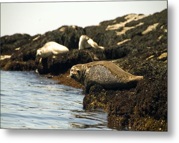 Lounging Seals Metal Print
