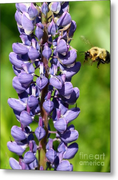 Lupine And Bee Metal Print by Christine Stack