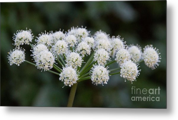 Metal Print featuring the photograph Lyall's Angelica by Katie LaSalle-Lowery