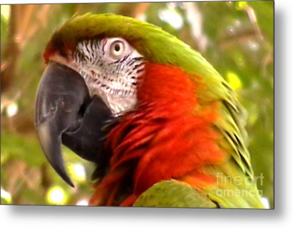 Macaw Alert Metal Print by John From CNY