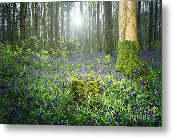 Magical Bluebell Forest In Kildare Ireland Metal Print by Catherine MacBride