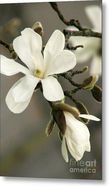 Magnolia Metal Print by Frank Townsley