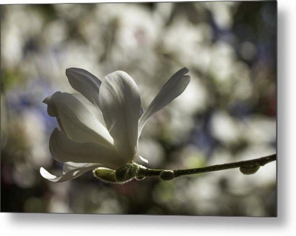 Magnolia X Loebneri  Merrill. Metal Print