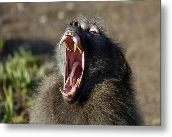 Male Chacma Baboon Metal Print by Peter Chadwick