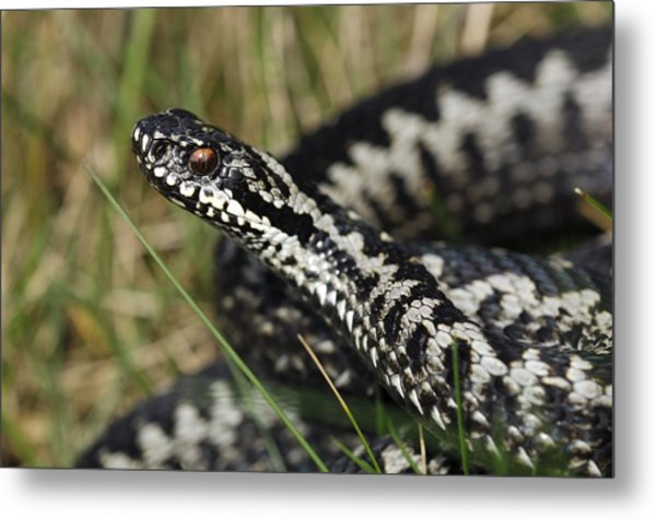 Male Common European Adder Metal Print by Colin Varndell