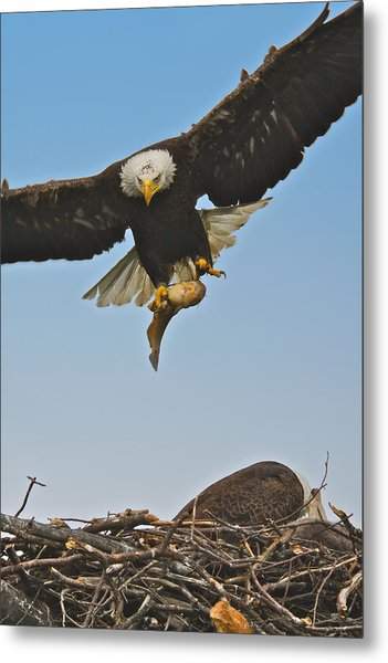 Male Eagle With Dinner Metal Print