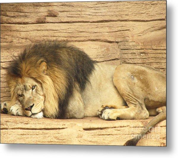 Male Lion Resting Metal Print