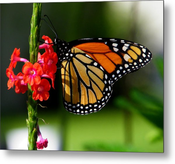 Male Monarch On Red Porterweed Metal Print by Judy Wanamaker