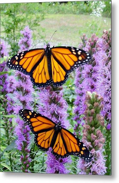 Male Monarchs Metal Print by Katie Bauer