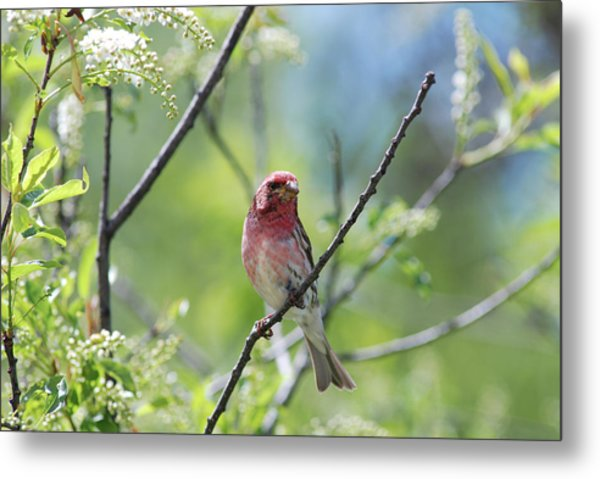 Male Purple Finch Metal Print
