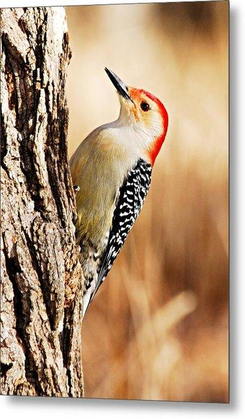 Male Red-bellied Woodpecker 3 Metal Print