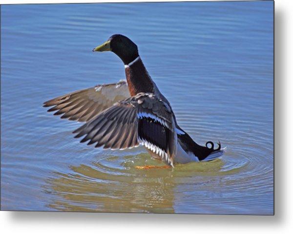 Mallard Duck Metal Print by Charles Covington