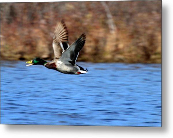Mallard In Flight Metal Print