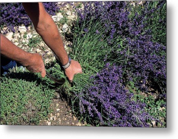 Man Harvesting Lavender Flowers In Field Metal Print by Sami Sarkis