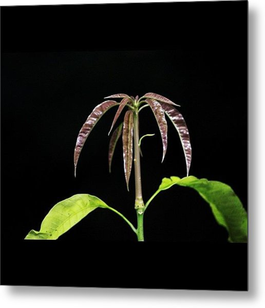 Mango Tree Baby Leaves Shooting Out Metal Print