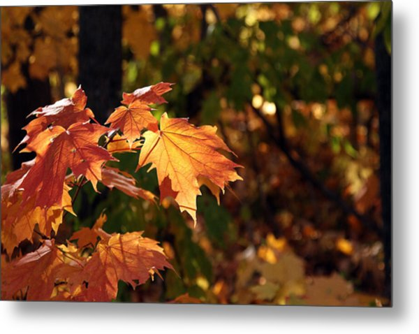 Maple Leaf Glow Metal Print by James Hammen
