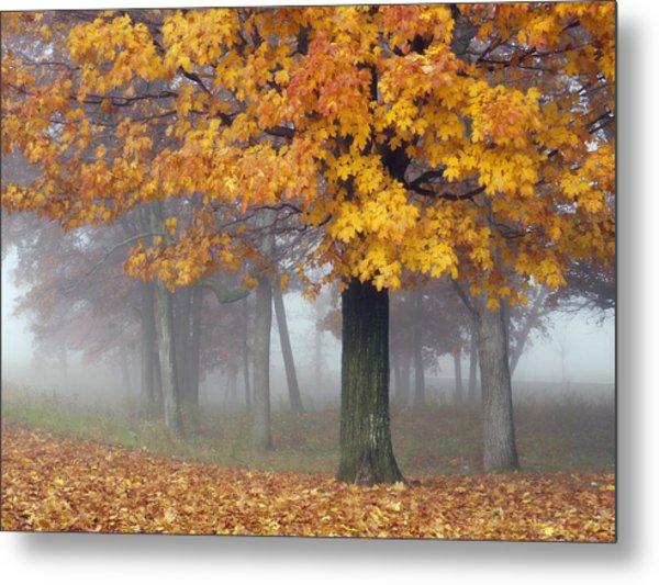 Maples In The Mist Metal Print