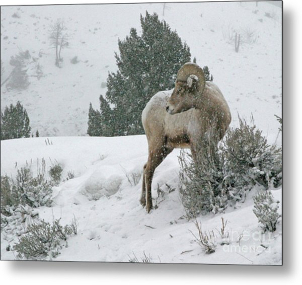 Metal Print featuring the photograph March Ram by Katie LaSalle-Lowery