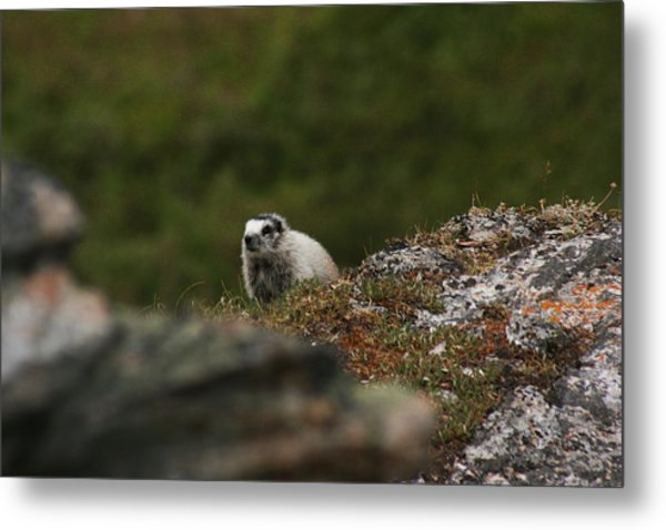 Marmot Denali National Park Metal Print