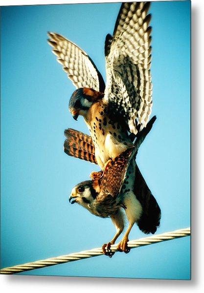 Matting Hawks Metal Print