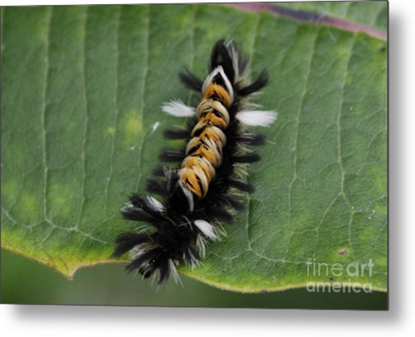 Milkweed Tussock Caterpillar Metal Print