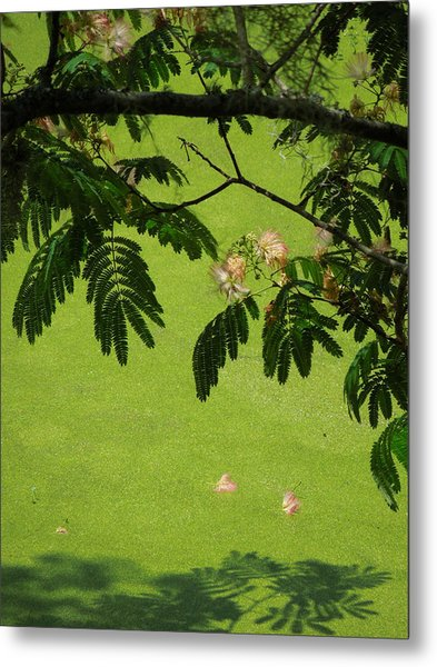 Mimosa Over Swamp Metal Print by Peg Toliver