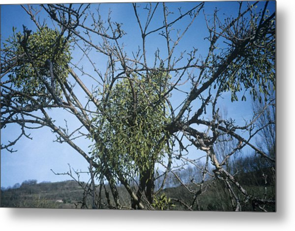 Mistletoe On A Tree Metal Print by Archie Young