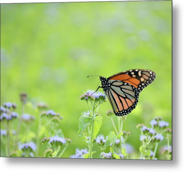Monarch And Mist Metal Print