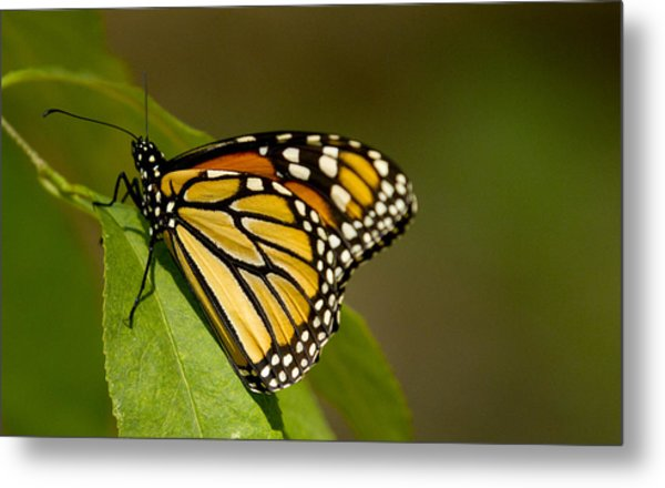 Monarch Beauty Metal Print by Dean Bennett