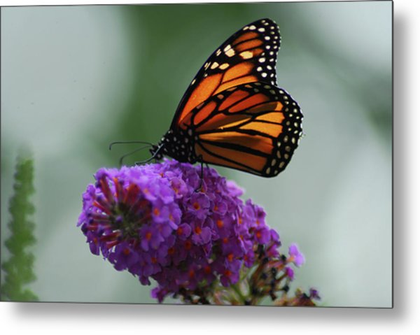Monarch On Purple Metal Print