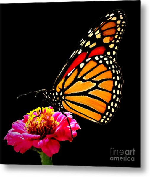 Monarch On Zinnia Metal Print by John From CNY