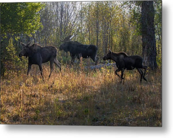 Moose Family Metal Print