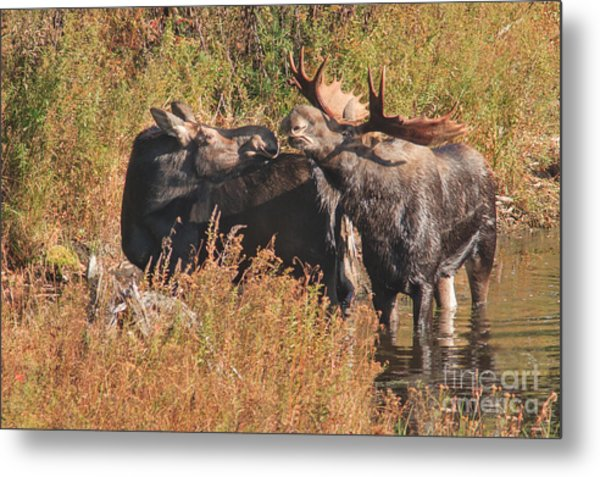 Moose Kiss Metal Print