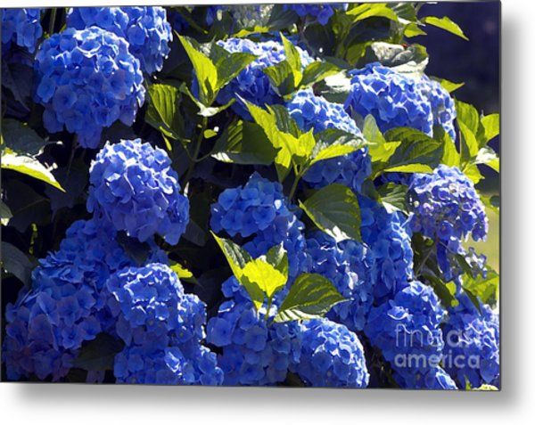 Mophead Hydrangeas Dry Brushed Metal Print by Sharon Talson