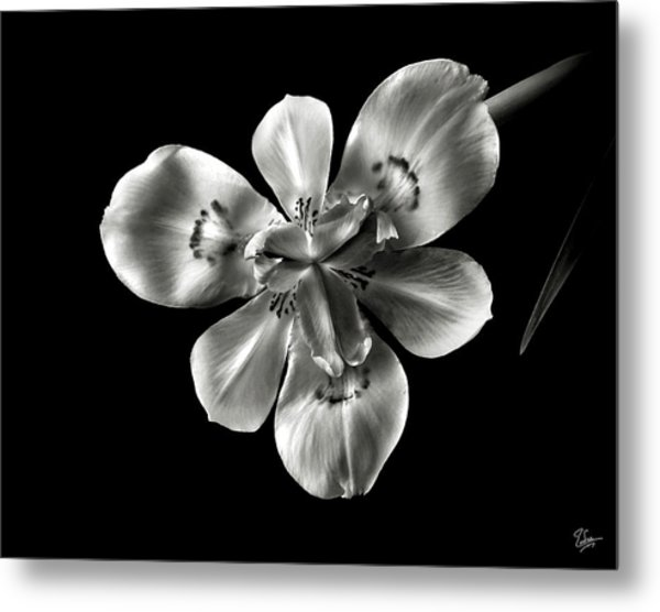 Morea Lily In Black And White Metal Print
