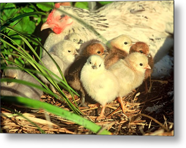 Mother Hen And Young Metal Print