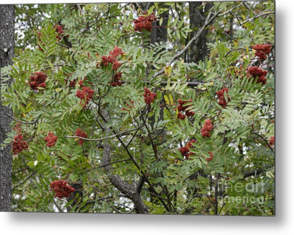 Mountain Ash Metal Print