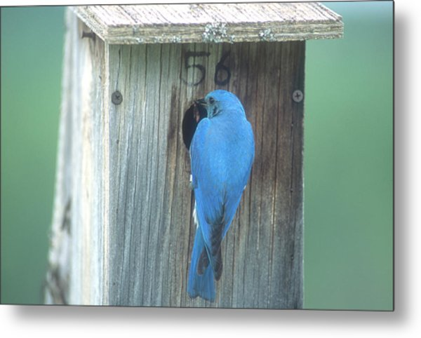 Mountain Bluebird Feeding Young Metal Print