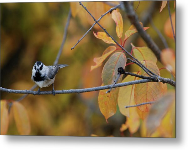 Mountain Chickadee 1 Metal Print