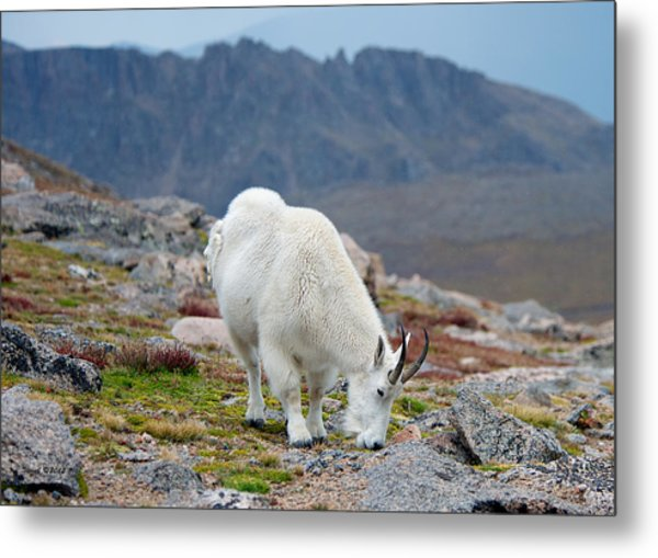 Mountain Goat Grazing Metal Print by Stephen  Johnson