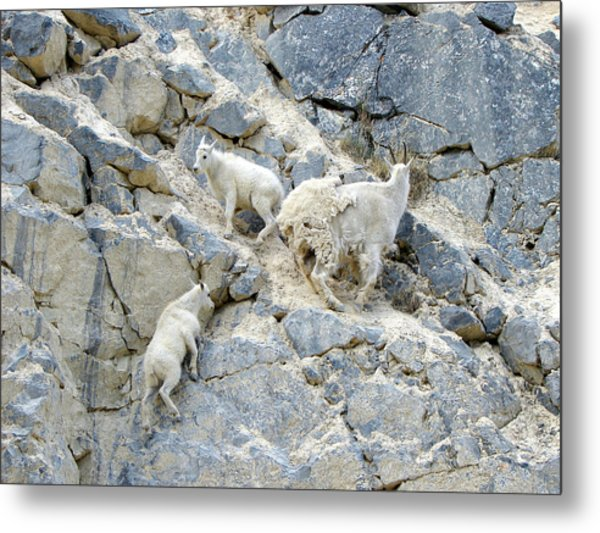 Mountain Goats 2 Metal Print