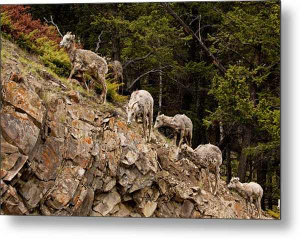Mountain Sheep 1668 Metal Print by Larry Roberson