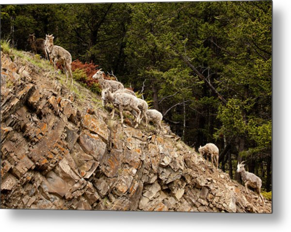Mountain Sheep 1670 Metal Print by Larry Roberson